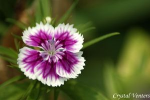 Sweet William 2 by poetcrystaldawn