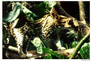 Ocelot in the shade by distemper