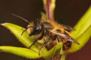 Mason Bee by snomanda