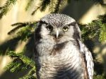 Northern Hawk Owl by Palmix