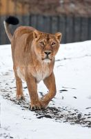 Lonely Lioness by amrodel