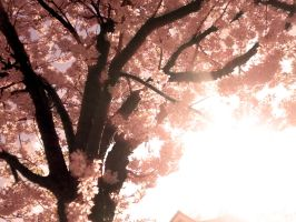 Cherry Blossom 2 by this-is-the-life2905