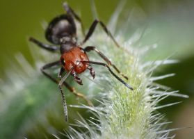 Ant On Borage by shawnstorm