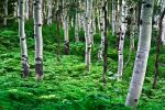 Aspens and Ferns by maxre