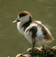 Duckling by Tinap