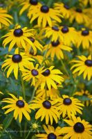 Black-Eyed Susan by kimberly-castello