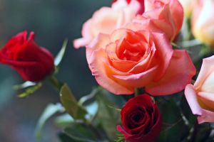 an open rose by clippercarrillo