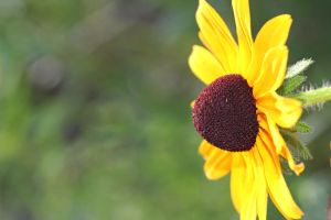Black-eyed Susan 1 by greyrowan