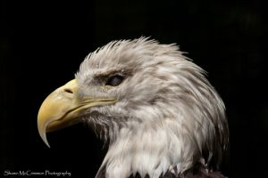 Bald Eagle 3 by aseaofflames