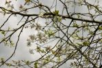 Plum tree blossoms ~ by fetchingfeast