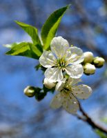 sour cherry flower by Aeylan