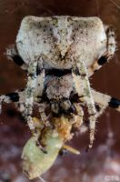 Cross Spider - Closeup by case15