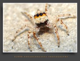jumping spider 3 by dhead
