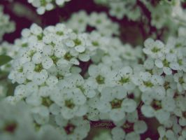 Flowers by DshaLie