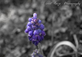 Grape Hyacinth 1 by GothicAmethyst