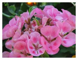 Pink Geranium by picworth1000wrds