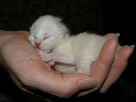 Hour-old kitty by redtailhawker