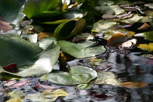 Lily Pads in the Sunlight by Dellessanna