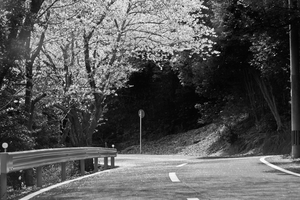 Cherry Blossom Road by TimGrey