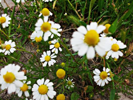 Daisies . by ANDMAiYESi1986
