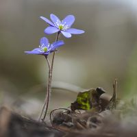 Anemone hepatica #8 by perost