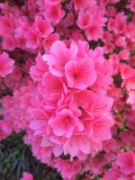 Bouquet of pink 3 by BreDemonal24
