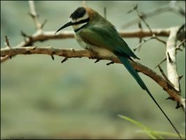 White Throated Bee-eater by mydigitalmind