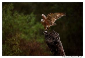 Falcon Pose by TVD-Photography
