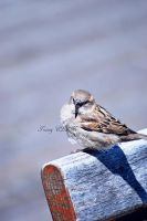 House Sparrow by ELaiNes-DarkRoom