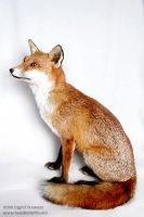 Taxidermy -  sitting fox by Illahie