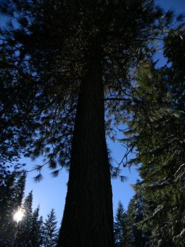 Big Beautiful Trees by The-Lover-Of-Life