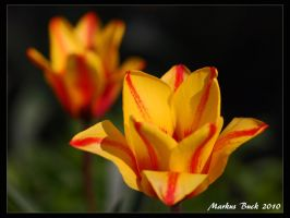 Colorful Tulip by HobbyFotograf