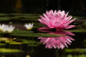 Pink Water Lily Upon a Mirror by secondclaw