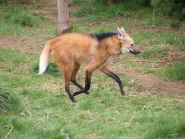 maned wolf  running by kez2009