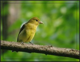 Scarlet Tanager Female by barcon53