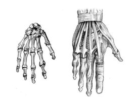 Hand Anatomy by Hobbes82