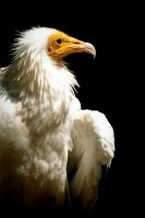 Egyptian vulture by BrokenFeathers