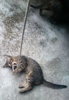 A kitten playing with a rope by sudro