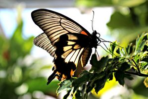 Great Yellow Mormon Butterfly by ParadoxGirl411