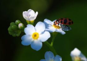 Spotted Lady Beetle by barcon53