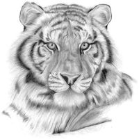 Tiger Sketch by N00dleIncident