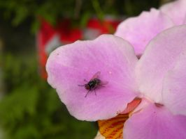 Fly on Orchid by RiverKpocc