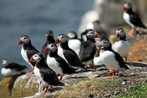 Puffin Island by not-in-my-lifetime