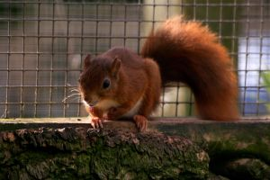 Red Squirrel by Tinap