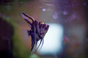 Angelfish by passionforhorse