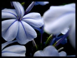 Flowers For You:Blue by shuttermonkey