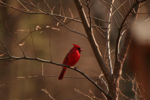 Cardinal - 2 by Seductive-Stock