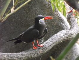 inca tern by HippieVan57