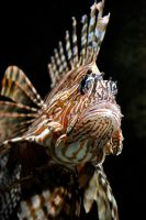 Lion Lion Lion Fish by Misty-Dawn