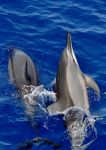 Dolphins at Play by Hysazu